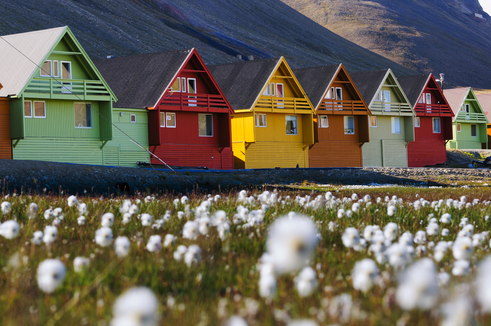 Foreground of arctic flowers and a row of very colorful homes in Longyearbyen, Svalbard, Norway