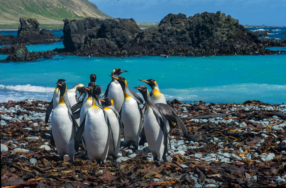 King Penguins have a stronghold on Macquarie Island