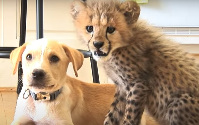 Cheetah-Dog Friendship Isn't As Strange As It Sounds