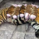 A Mother Tiger Adopts Piglets And Raises Them As Her Own